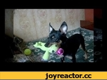 """Молдавский Той Терьер - умный собак!,Comedy,,Говорят """"Мелкие собаки глупые, только украшения для ванильных п***""""  А вот хрен, это очень умные псы!)"""