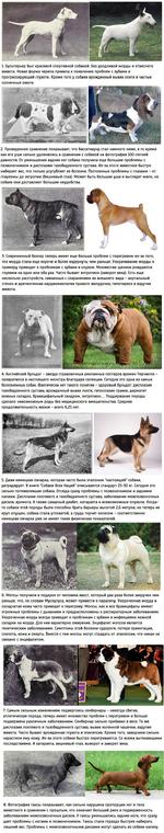 1. Бультерьер был красивой спортивной собакой. Без уродливой морды и отвислого живота. Новая форма черепа привела к появлению проблем с зубами и прогрессирующей глухоте. Кроме того у собаки врожденный вывих локтя и частые солнечные ожоги. 2. Проведенное сравнение показывает, что бассетхаунд стал