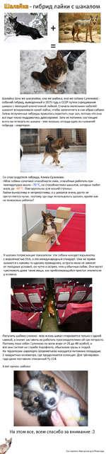 8 - гибрид лайки с шакалом Шалайка (она же шакалайка, она же шабака, она же собака Сулимова) -собачий гибрид, выведенный в 1975 году в СССР путем скрещивания шакала с ненецкой оленегонной лайкой. Сначала маленьких кобелей шакалят вскармливали сукой лайки, чтобы запечатлеть в них образ собаки. Зате