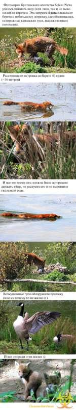 Фотокорам британского агентства Solent News удалось поймать лису (или лиса, так и не выяснили) на горячем. Эта хитрюга 4 раза плавала от берега к небольшому островку, где обосновались осторожные канадские гуси, высиживающие потомство. Расстояние от островка до берега 40 ярдов (~36 метров) И все