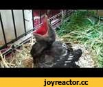 """Feeding a Baby Crow,Animals,,May 22, 2011-Our local County Wildlife Rescue organization was contacted for assistance after we found this young crow.  We were advised to """"return the crow to where we found it and let nature take its course.""""  This did not seem to be a very humane option in our"""