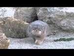Кот Манул - Кто тут, а?,Autos,,wild cat inspects a camera