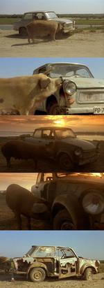 свинья объела кузов машины