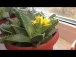 Фаукария в цвету (Faucaria in bloom),Travel,,Вот такие одуванчики сегодня распустились на окне