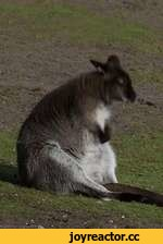 Wallaby Imitates The Humming Wolfs Of Wall Street - The Money Chant