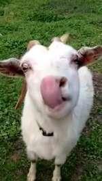 Crazy goat  Evan Baxter