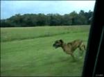 Собака-каскадер