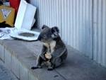 Sad Koala eats an apple, looks back on his life,Entertainment,koala,wealth,rich,apple,sad,eucalyptus,australia,A down-and-out koala remembers the good times and the bad times.  Read the Urlesque post here: http://www.urlesque.com/2011/01/31/sad-koala-eats-apple/ See the original video here: