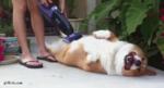 Собака наслаждается, когда её гладят по животу пылесосом