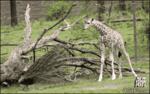 Жираф задел птицу и сам же испугался