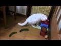 Why are cats afraid of cucumbers? / Proč se kočky bojí okurek?,Pets & Animals,Cucumber (Food),Cat (Animal),cat vs. cucumbers,hit internetu,Animal (Film Character),kočky,cats,kompilace,2015,vtipné,funny,funny cats,Cute,Kitty,Kitten,Kittens,Meow,Pets,scaring,scared,Scary,Cats vs. cucumbers - Compi