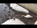 Лебедь чистит озеро от мусора в самом центре Казани vk com vkazani,Nonprofits & Activism,Казань,лебедь,озеро,