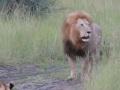 Батя показывает как надо рычать,Autos & Vehicles,Видео,львы,животные,мило,львята,