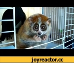 "Do you want to know more about Sonya? (slow loris - ""The Tickle Lover""),Animals,slow,loris,Sonya,tickle,I am happy to present you our new video with Sonya!!! You can find the original ""Tickle"" video (together with other videos of Sonya) at http://www.vimeo.com/3057473 I am very glad that you like"