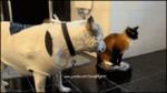 Котэ лупит собаку и при этом ездит на роботе-пылесосе