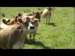 Заклинатель коров,Animals,,