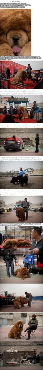 «Собаколев» Тибетский мастиф - одна из древнейших пород собак. Первое литературное упоминание о них содержится в древнекитайской книге Шу-цзин и датируется 1122 годом до нашей эры. Чистота крови до-хи на протяжении многих столетий поддерживалась благодаря географической изолированности местности и