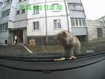 Впечатлительным не смотреть Old tom-cat pukes his guts out,Animals,,Старый уличный кот,обрыгал и пропоносил машину в Твери.