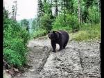 """Bear attack. Медведь нападает на человека. Смешное видео. Ridiculous,Animals,,Медведь нападает на человека. Живая природа. Смешное видео. Медведи вышли на старательский участок в лесу и нападают на трактор, в котором сидит водитель и ругается. Один медведь пытается залезть в кабину, а другой """"жрет и"""