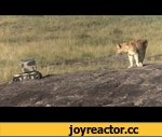 "Photographing Lions With Technology,Entertainment,,National Geographic photographer Michael ""Nick"" Nichols and videographer Nathan Williamson used a remote-controlled helicopter and a small robot tank to capture unique images of Serengeti lions. Read the article from National Geographic News:"