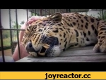Леопард мурлыкает, как мотоцикл)),People,,